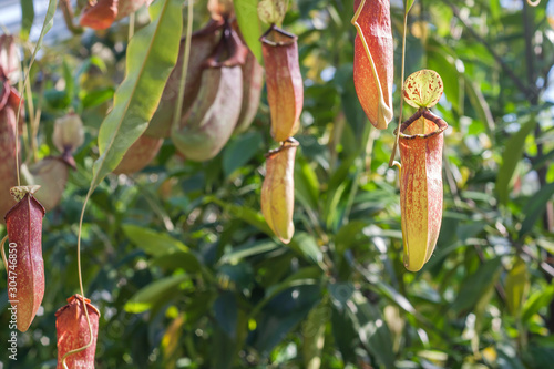 Fotografia Nepenthes rafflesiana tropical pitcher plants