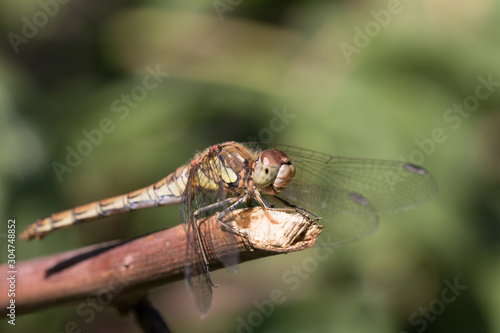 Valokuva A female Common Darter dragonfly in the Norfolk Broads