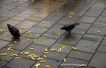 Pigeons Are Eating On The Stre...