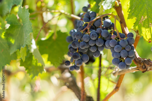 Fotografiet Grapes growing in Chianti region of Tuscany, Italy