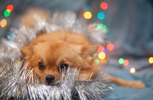 A Little Red Dog Is Ice On The Couch. New Year's Lights Glow Next To Her. Festive Atmosphere. Bright New Year And Christmas Composition.
