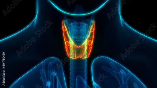 Human Glands Thyroid Gland Anatomy Anterior View Canvas Print