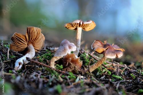 Fotografie, Obraz  Giftige Risspilze auf Waldboden als Makroaufnahme mit hoher Tiefenschärfe und Bo