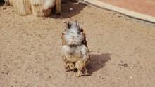 Decorative Breed Cochin Chicken