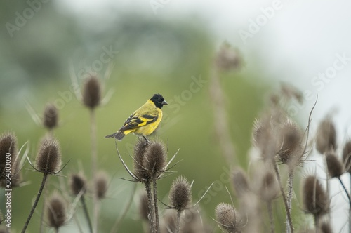 Photo Closeup shot of a beautiful Magnolia warbler bird sitting on a scratchy plant on