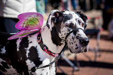 Great Dane Dog Dressed Up With...