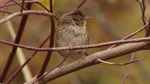 Swamp Sparrow On A Branch On A...