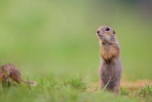 Cute European Ground Squirrels...