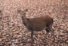 Sika Deer On Autumnal Leaves