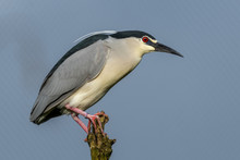 Black Crowned Night Heron Balancing  On Top Of A Broken Tree Limb