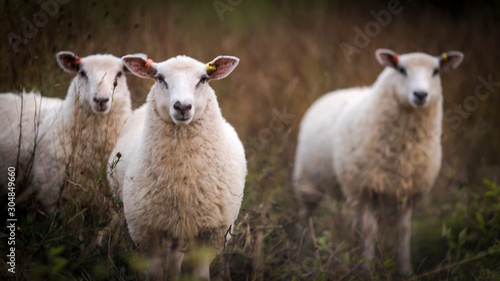 Fototapeta Three curious sheep in an autumn field