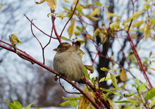 Sparrow Sitting On A Bush In Autumn In A Park