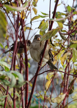 Sparrows Sitting On A Bush In Autumn In A Park
