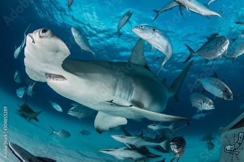 Obraz Closeup shot of Great hammerhead fish hanging out underwater in Bimini, Bahamas - fototapety do salonu