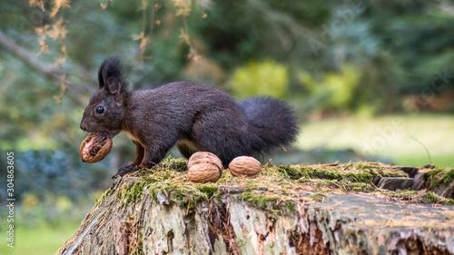 Photo Eichhörnchen beim Nüsse sammeln