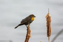 Yellow Winged Blackbird