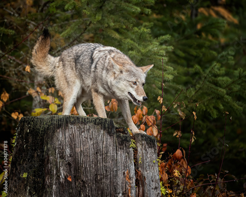 Canvas Print Coyote in Fall colors in Montana, USA