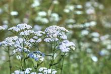 Plant Yarrow Ordinary (Achillea Millefolium )