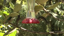 Hummingbird Eating Several Mon...