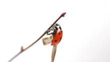 Ladybird Spreads Its Wings