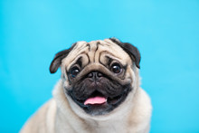 Happy Adorable Dog Pug Breed S...