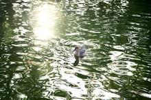 一羽の鴨と輝く水面