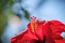 Red Hibiscus Flowers China Rose,Chinese Hibiscus,Hawaiian Hibiscus In Tropical Garden Of Tenerife,Canary Islands,Spain.Floral Ba. Ckground.Selective Focus