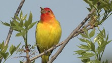 Western Tanager Male Adult Cal...