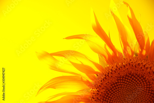 Fototapeta yellow silhouette of a flower of a sunflower on a gold background. obraz