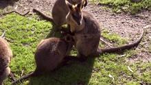 Mom Kangaroo Feeding A Joey