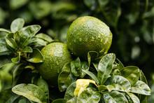 Orange Citrus On The Branches Of The Bitter Orange Variety Tree