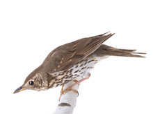Song Thrush Isolated On A White Background.