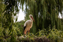 White Stork In The Forest