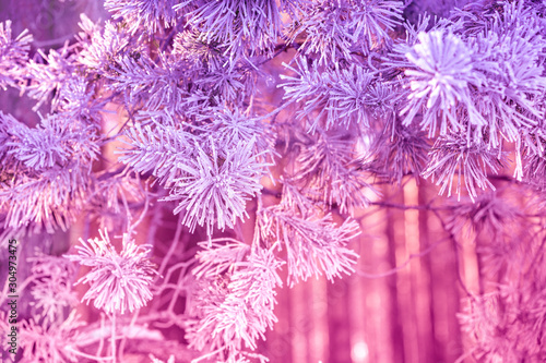Pine branches covered with rime. Natural winter background. Winter nature. Snowy forest. Christmas background
