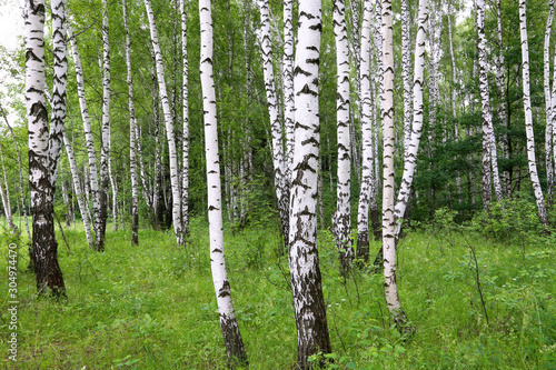 Photo Stands Birch Grove Beautiful birch trees