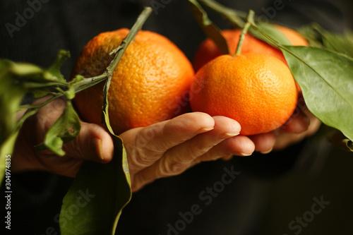Fototapeta Mandarynki  dojrzale-mandarynki-kobieta-trzyma-mandarynki-z-zielonymi-liscmi-wlasnie-zerwanymi-z-drzewa
