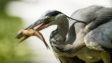 A Gray Heron Eats A Fish