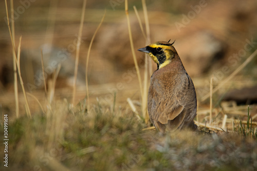 Horned Lark - Eremophila alpestris  called the shore lark in Europe, is a specie Canvas-taulu