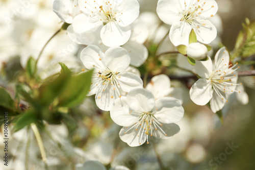 Blossoming cherry tree, closeup Poster Mural XXL
