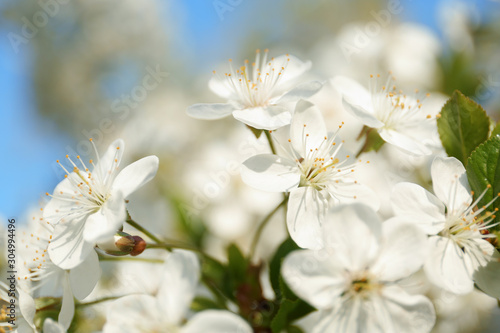 Photographie  Blossoming cherry tree, closeup