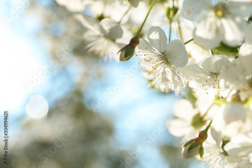 Blossoming cherry tree, closeup Tableau sur Toile