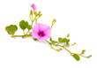 Ipomoea pes-caprae, also known as bayhops, beach morning glory or goat's foot. Isolated