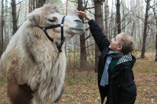 Cute Blond Boy Playing With Brown Camel In The Forest