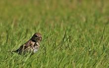 Sparrow With A Worm