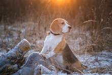 Dog Breed Beagle On A Walk In The Winter Park On The Background Of A Beautiful Sunset