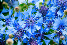 Blue Closeup Cornflowers, Corn...