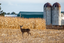 Ten Point White Tailed Deer Buck Standing In A Farmers Cornfield In Wisconsin