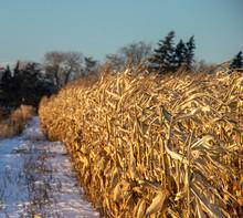 Snow Covered Corn Field