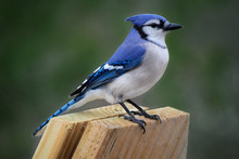 Blue Jay, Adult Perched On Wood Board