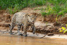Close Up Of A Jaguar Walking On A Riverbank